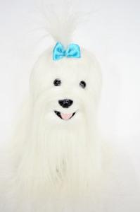 Maltese Dog Alex