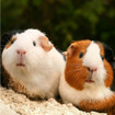 Greeting Sound Card By Really Wild Cards - Guinea Pigs www.the-village-square.com EAN: 5060211661679 Greeting Sound Card