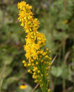 solidago-stricta-crop.jpg