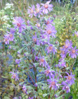 Aster concolor, Silvery Aster