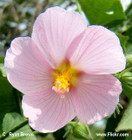 Kosteletzkya virginica -- Seashore mallow, Virginia saltmarsh mallow