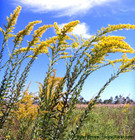 This tall goldenrod puts on a spectacular show with large branching flower heads.