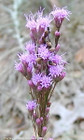 Liatris tenuifolia -- Shortleaf blazing star
