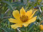 Bidens laevis  Bur-Marigold