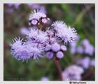 Conoclinium coelestinum - Blue Mistflower