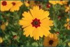 Coreopsis basalis - Goldenmane Tickseed, Dye Flower