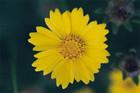 Coreopsis lanceolata -- Lanceleaf tickseed