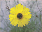 Coreopsis leavenworthii -- Leavenworth's tickseed