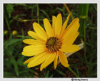 Helianthus angustifolius -- Swamp sunflower, Narrowleaf sunflower