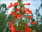Ipomopsis rubra - StandingCypress, Spanish Larkspur