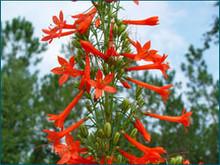 Ipomopsis rubra - Standing Cypress