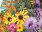 A hardy collection of wildflowers for your butterfly garden.