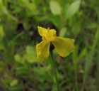 Xyris difformis - Bog Yelloweyed Grass