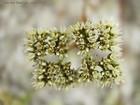 Paronychia rugelii  -- Sandsquares, Rugel's nailwort