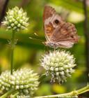 Eryngium yuccifolium -- Rattlesnakemaster, Button rattlesnakemaster