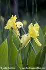 Canna flaccida --  Bandanna-of-the-Everglades, Southern marsh canna, Golden canna, Yellow canna