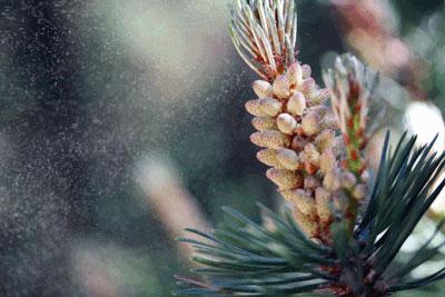 Pine Pollen - Meditrend, Inc