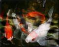 Mystical Koi by Artist McKenzie