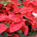 Red  Poinsettias (Minimum of 10 - Local Only)