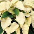 White Poinsettias (Minimum of 10 - Local Only)