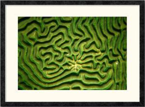 Brain Coral | Charlene deJori | Ebony frame