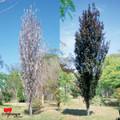 Prunus Cerasifera 'Oakville Crimson Spire'