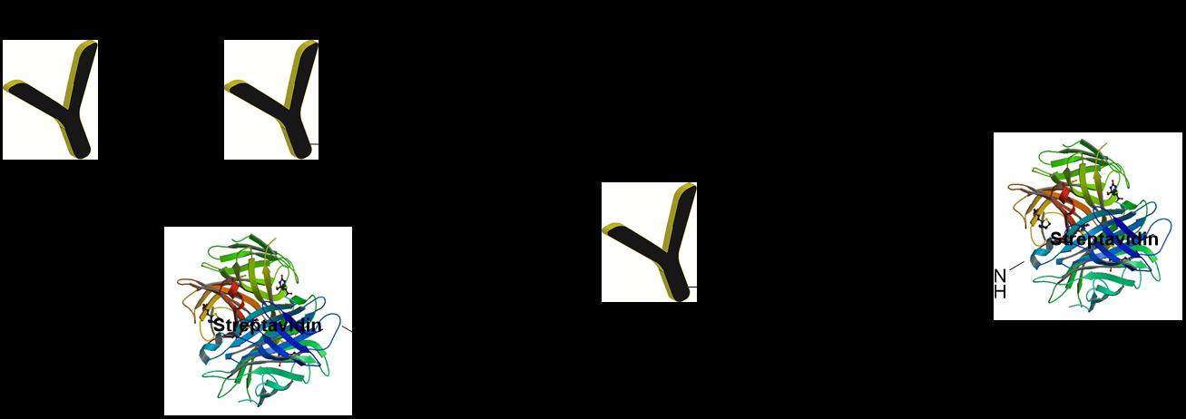 cm52420-streptavidin-antibody-conjugation-scheme.png