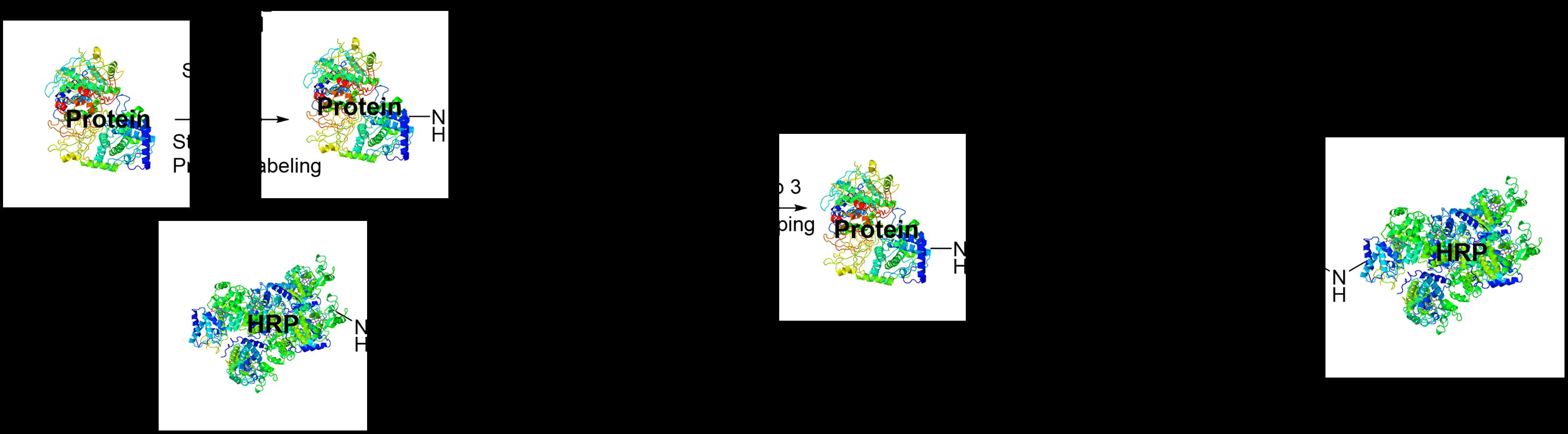 scheme-1-hrp-protein-hmw.png