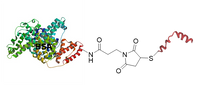BSA peptide conjugates