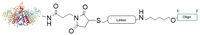 Chemical structure of AP oligo conjugates