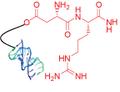 Peptide—Oligo Conjugate