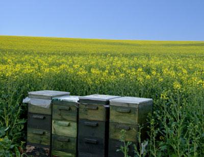 Beehives in Farm Fields