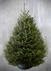 Balsam Fir Christmas Trees - Sizes from 3 to 9 feet