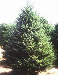 Fraser Fir Christmas Trees - Sizes 3 to 9 feet