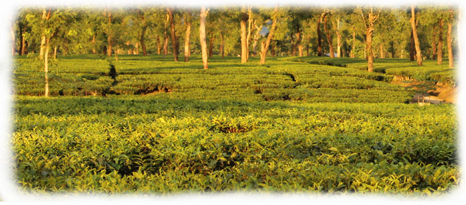 Nahorhabi Tea Estate