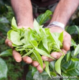 th_Tea-Leaves-Picked.JPG