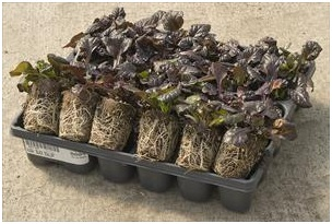 ajuga-r.-black-scallop-30-ct-flat.jpg