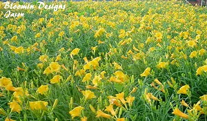 daylily-garden-4.jpg