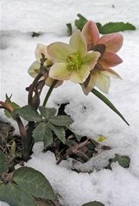 hellebores-lenten-roses.jpg