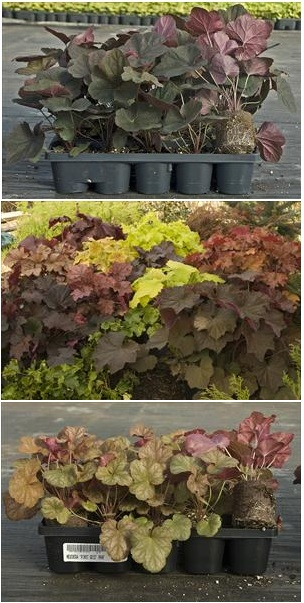 heuchera-20-ct-flats.jpg