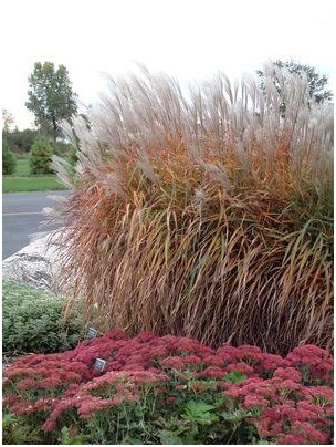 miscanthus-purpurascens