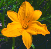 Hemerocallis GOLDEN PRIZE