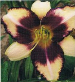 Daylily Border Lord