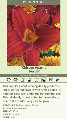 'Chicago Apache' DAYLILY Hemerocallis 'Chicago Apache' This popular award winning daylily produces large, scarlet red flowers with ruffled petals. It holds its color well under the hot summer sun. This tall daylily is best suited to the middle or rear of the border. Very easy to grow. EXPOSURE: Full Sun to Part Shade BLOOMS:  Midsummer HEIGHT: 30 in SPACE: 18-24 in ZONE: 3-9