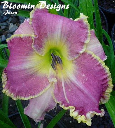 Daylily CLOTHED IN GLORY