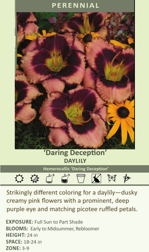 'Daring Deception' DAYLILY Hemerocallis 'Daring Deception' Strikingly different coloring for a daylily?????dusky creamy pink flowers with a prominent, deep purple eye and matching picotee ruffled petals.  EXPOSURE: Full Sun to Part Shade BLOOMS:  Early to Midsummer, Rebloomer HEIGHT: 24 in SPACE: 18-24 in ZONE: 3-9