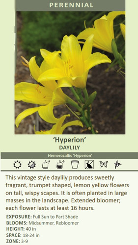 'Hyperio' DAYLILY Hemerocallis 'Hyperion' This vintage style daylily produces sweetly fragrant, trumpet shaped, lemon yellow flowers on tall, wispy scapes. It is often planted in large masses in the landscape. Extended bloomer; each flower lasts at least 16 hours. EXPOSURE: Full Sun to Part Shade BLOOMS: Midsummer, Rebloomer HEIGHT: 40 in SPACE: 18-24 in ZONE: 3-9