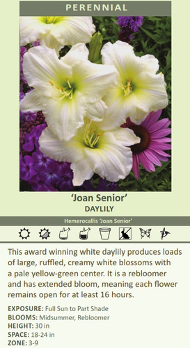 'Joan Senior' DAyLILy Hemerocallis 'Joan Senior' This award winning white daylily produces loads of large, ruffled, creamy white blossoms with a pale yellow-green center. It is a rebloomer and has extended bloom, meaning each flower remains open for at least 16 hours. ExPosuRE: Full Sun to Part Shade BLooms: Midsummer, Rebloomer HEIgHt: 30 in sPAcE: 18-24 in ZoNE: 3-9
