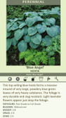 Hosta BLUE ANGEL (10)ct Quarts