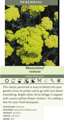 Moonshine' YARROW Achillea 'Moonshine' This classic perennial is easy to blend into your garden since its pretty colors go with just about everything. Bright silver, ferny foliage is topped with canary yellow flower clusters. Try cutting a few for your fresh bouquets. EXPOSURE: Full Sun BLOOMS: Early thru Midsummer HEIGHT: 18-24 in SPACE: 18-24 in ZONE: 3-8